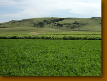 This is behind the farm…..so green and pretty.  Alfalfa about ready for 3rd cutting.